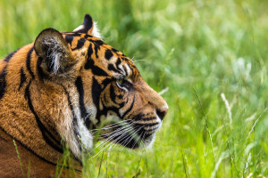 Tigerin Diana wartet auf ihre Beute