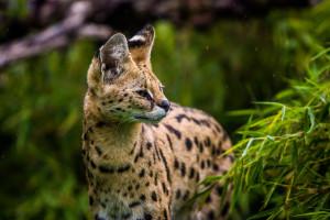 Ein Serval-Kätchen im Nieselregen.